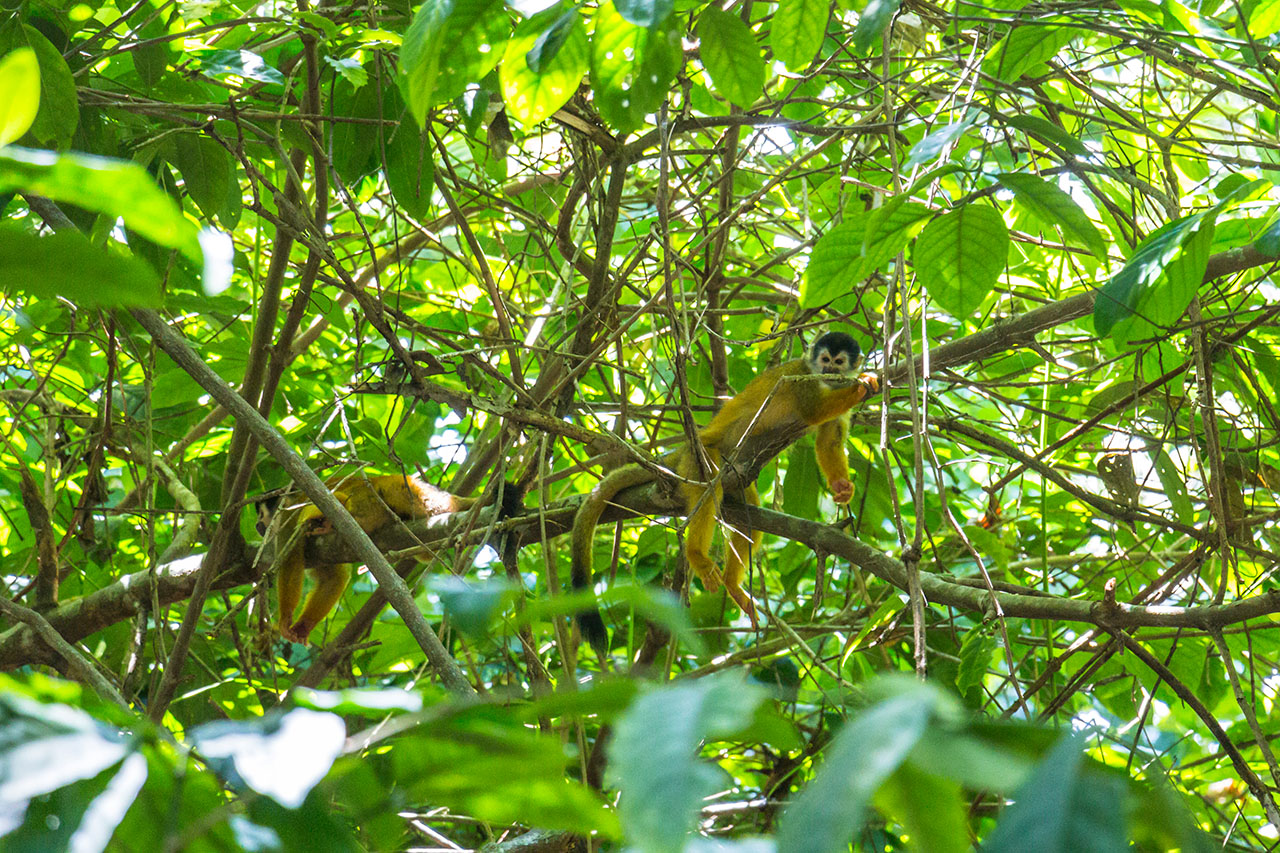 Monkey inside the trees of the jungle in Costa Rica