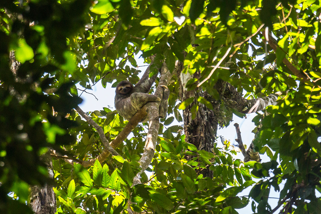 Sloth hanging in the trees in Costa Rica jungle