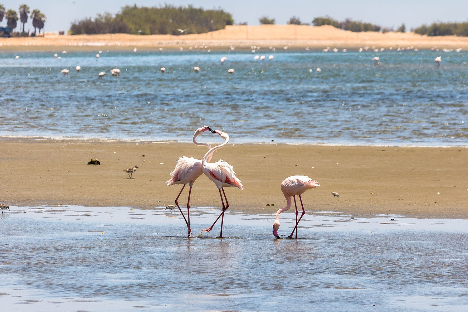 Walvis Bay Flamingos